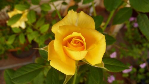 Rose jaune - détourage avec les ciseaux intelligents